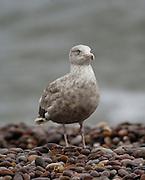 UK, September 18 2011: Glaucous gull (Larus hyperboreus) standing on the pebble beach at Budleigh Salterton. Copyright 2011 Peter Horrell