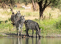 Grant's Zebras, Equus quagga boehmi, drink from a pond in Tarangire National Park, Tanzania. An Egyptian Goose, Alopochen aegyptiacus, stands on the shoreline.