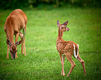 Doe and Fawn with Spots. Image taken with a Nikon D800 and 600 mm f/4 VR lens.
