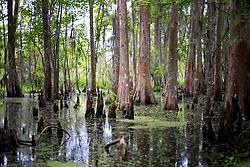 02 June 2014. Jean Lafitte National Historic Park, Louisiana.<br /> The cypress rich Barataria Preserve wetlands south or New Orleans.<br /> Charlie Varley/varleypix.com