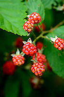 Wild edible raspberries.