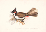 The red-whiskered bulbul (Pycnonotus jocosus), or crested bulbul, is a passerine bird found in Asia. It is a member of the bulbul family. It is a resident frugivore found mainly in tropical Asia. It has been introduced in many tropical areas of the world where populations have established themselves. It feeds on fruits and small insects. Red-whiskered bulbuls perch conspicuously on trees and have a loud three or four note call. They are very common in hill forests and urban gardens within their range. 18th century watercolor painting by Elizabeth Gwillim. Lady Elizabeth Symonds Gwillim (21 April 1763 – 21 December 1807) was an artist married to Sir Henry Gwillim, Puisne Judge at the Madras high court until 1808. Lady Gwillim painted a series of about 200 watercolours of Indian birds. Produced about 20 years before John James Audubon, her work has been acclaimed for its accuracy and natural postures as they were drawn from observations of the birds in life. She also painted fishes and flowers. McGill University Library and Archives