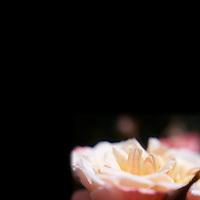 Minimalist Lensbaby Roses