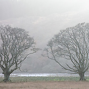 Survivors of the beech trees known as the Seven Men of Moidart, in commemoration of Jacobite folklore,  Loch Moidart, Lochaber, Highland, Scotland.