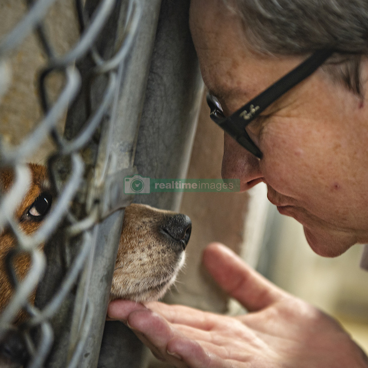 October 8, 2018 - Allentown, PA, USA - Pa Humane Police Officer Barbara Morgan places her hand under the snout of one of the beagles Monday, Oct. 8, 2018 at the Lehigh County Humane Society in Allentown, Pa. Lehigh County Humane Society has taken in more than 70 beagles rescued from a home in Upper Saucon Township over the weekend. (Credit Image: © Rick Kintzel/Allentown Morning Call/TNS via ZUMA Wire)