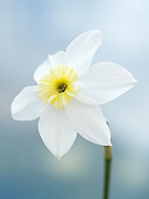 Narcissus 'Segovia' - dwarf small-cupped daffodil