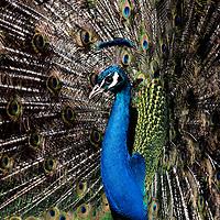 Scone Palace Peacocks