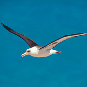 Layson Albatross, (Diomedea immutabilis) Adult in flight. Midway Islands. Hawaii.