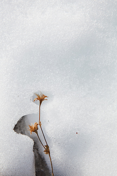 Snow melt uncovers a dried flower from the previous season in the Chugach Mountains near Columbia Glacier, Alaska.