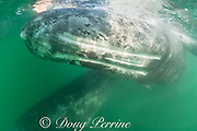gray whales, Eschrichtius robustus, mother (below) and calf (at surface), showing throat creases or throat grooves on underside of calf, as it rolls on its side to look up at tour boat, San Ignacio Lagoon, El Vizcaino Biosphere Reserve, Baja California Sur, Mexico