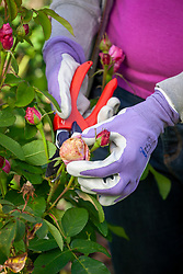Removing buds from roses that are showing signs of balling