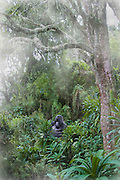 Silverback mountain gorilla in high altitude rainforest, Volcanoes National Park, Rwanda. Gorilla in the mist.