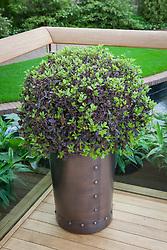 Pittosporum in copper pot. Pittosporum tenuifolium 'Tom Thumb' AGM. East Village Garden, RHS Chelsea Flower Show 2013