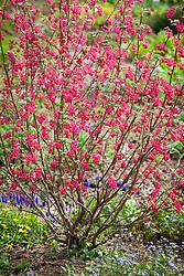 Ribes sanguineum 'Koja'. Flowering currant