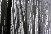 Woodland in the mist, Gloucestershire, United Kingdom.