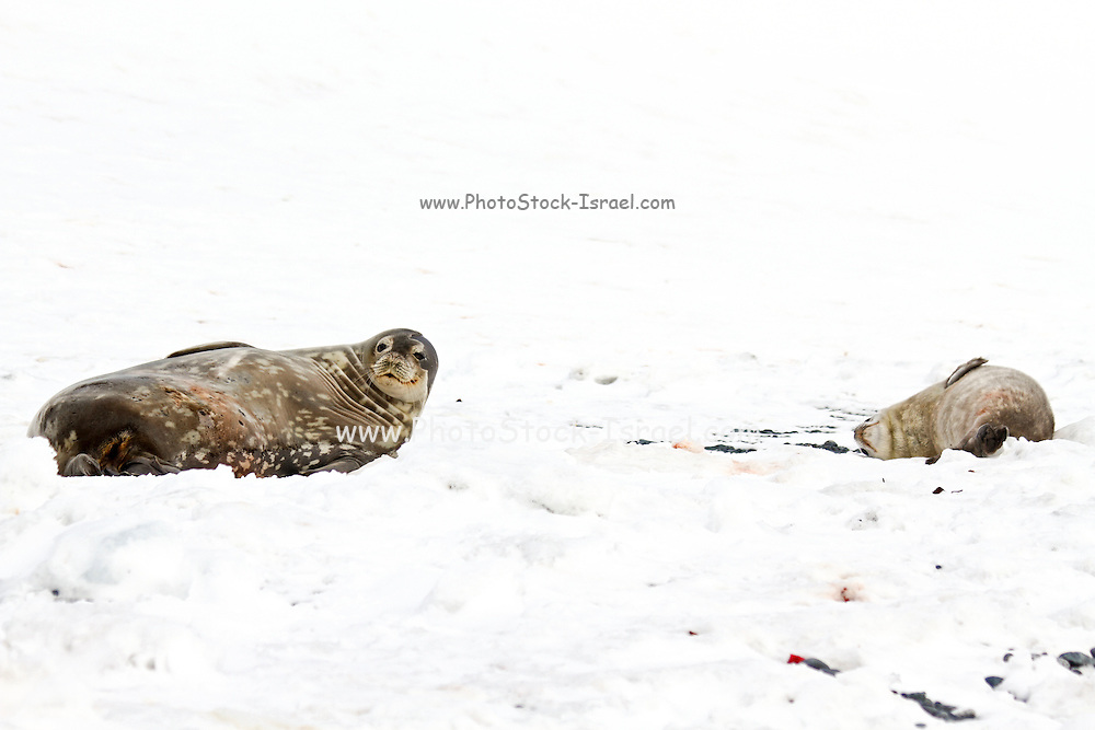 Weddell seals (Leptonychotes weddellii). Young pup lying on sea ice. Weddell seals are born singly. They have fine soft hair (lanugo) that turns to a dark thicker coat at about a month. They are born with their permanent dentition and after being breast fed for six weeks, feed on fish and squid. Weddell seals are found throughout the Antarctic, the majority of their social behaviour occurs in water. They have well developed eyes, which assist them in hunting for food and locating breathing holes in the ice. Photographed on Deception Island, South Shetland Islands archipelago, Antarctica.
