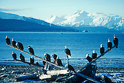 Alaska. Homer spit. Kenai Peninsula, Kachemak Bay, Kenai Mountains.  Bald Eagles (Haliaeetus leucocephalus) roost on a log on the beach in early spring.