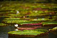 Mauritius Island. Pamplemousses garden. Giant Victoria regia water lillies, a main feature of the Sir Seewoosagur Ramgoolam Botanical Gardens, Pamplemousses
