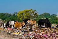 Cows feeding on refuse at a dump along a back road near Mathura, Uttar Pradesh, India.