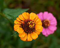 Zinnia. Image taken with a Leica SL2 camera and Sigma 70 mm f/2.8 macro lens.