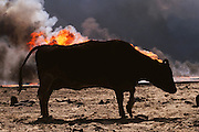 Apocalypse Cow: An abandoned cow in silhouette near the burning Kuwait oil fields immediately after the end of the Gulf War (March, 1991). Within a few weeks there were no animals alive in the desert. The burning Magwa oil fields near Ahmadi in Kuwait right after the end of the Gulf War in 1991. An abandoned cow is silhouetted by the burning oil well. All cattle died within a few weeks. More than 700 wells were set ablaze by retreating Iraqi troops creating the largest man-made environmental disaster in history.