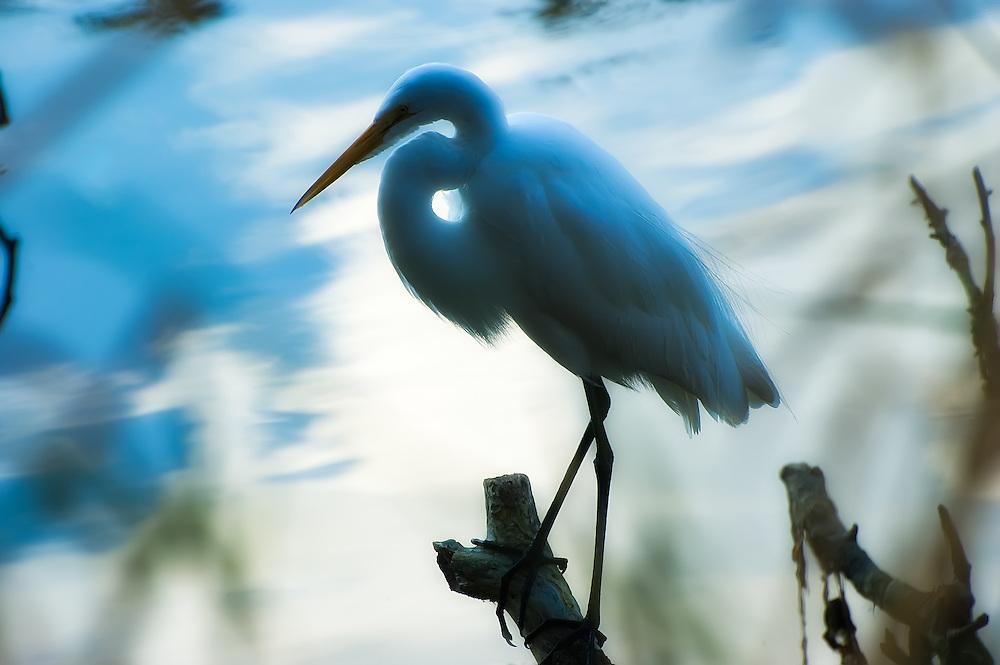 Great egret silhouette in Homosassa Springs, Citrus County, Fl.