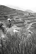 A chinese man with a conical hat farms in rice fields of Ping'an, Guangxi, China, Asia