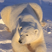 Polar Bear (Ursus maritimus) large male. Churchill, Manitoba, Canada