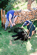 Alaska. Biologists weighing Black Bear.
