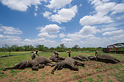 Tranquilized elephants waking up<br /> (Loxodonta africana)<br /> Elephants darted from helicopter to be relocated.<br /> Zimbabwe