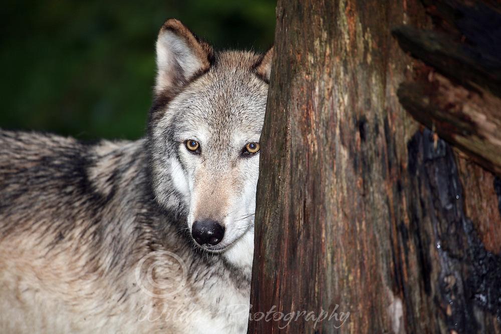Wolf peeking around tree