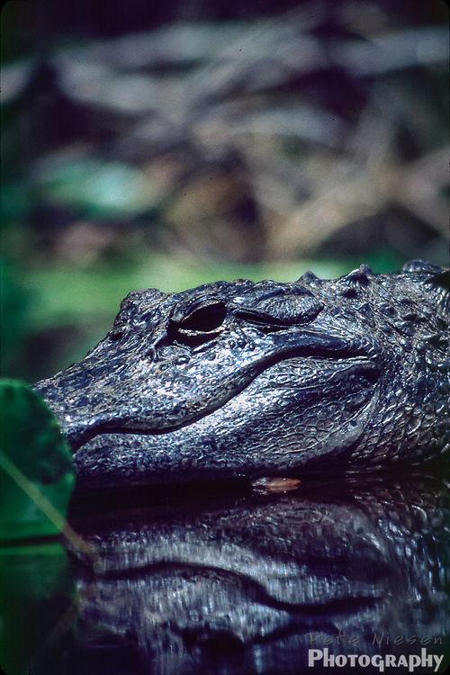 Alligator smile, Alligator mississippiensis sitting on log in swamp