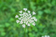 Apiaceae (Carrot and Parsley Family)