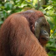A large male (Pongo pygmaeus) in Orangutan Tanjung Puting National Park. Central Kalimantan region, Borneo.