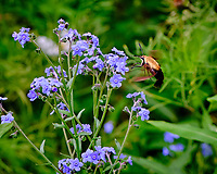 Clearwing Hummingbird Moth feeding on Forget-me-not. Image taken with a Fuji X-H1 camera and 80 mm f/2.8 macro lens