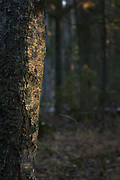 The trunk of birch tree in late afternoon light in dark forest, forests around River Amata, near Skujene, Latvia Ⓒ Davis Ulands | davisulands.com