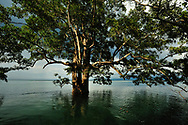 A tree growing in the brackish waters of Golfo Dulce, Puntarenas, Costa Rica.