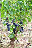 Bourgogne Aloxe Corton Grand Cru - stock photo samples