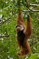 "Bornean Orangutan - ""wurmbii"" subspecies<br />(Pongo pygmaeus wurmbii)<br /><br />Adult male ""Codet"" feeding on flowers of the Madhuca tree.<br /><br />Cabang Panti Research Station<br />Gunung Palung National Park<br />West Kalimantan, Indonesia<br />Borneo Island"