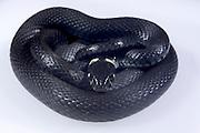 Die Ringelnatter (Natrix natrix), ist eine in mehreren Unterarten in großen Teilen Europas und Asiens sowie Nordafrikas beheimatete Schlange, die zur Familie der Nattern (Colubridae) gehört.   The Grass Snake, sometimes called the Ringed Snake or Water Snake (Natrix natrix) is a European non-venomous snake.