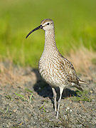 The Whimbrel Numenius phaeopus, is a wader in the large family Scolopacidae. It is the one of the most widespread of the curlews, breeding across much of subarctic North America, Europe and Asia as far south as Scotland.