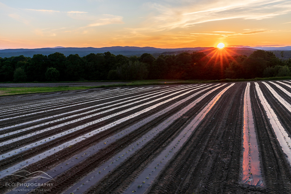 Rows of plastic mulch and squash seedlings in a field at Pearl Farm in Loudon, New Hampshire. Sunset.
