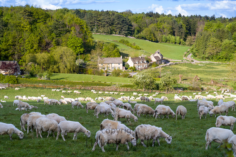Easycare sheep - a wool-shedding breed - with shaggy fleece that removes itself and avoids sheep shearing during Coronavirus COVID-19 virus pandemic, UK