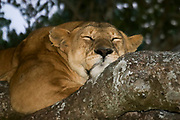 Lioness sleeps in a tree Photographed in Tanzania, Serengeti National Park