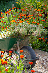 Allium seedheads in a wheelbarrow surrounded by Calendula 'Indian Prince'