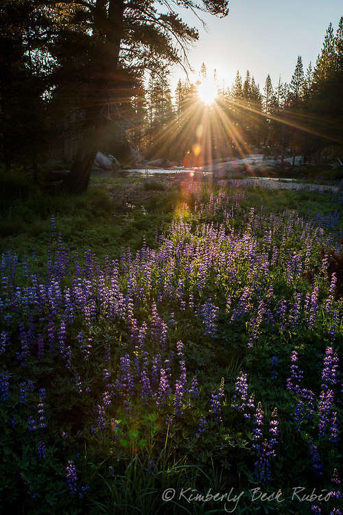 Sunrise over an island of purple and white lupine flowers in the middle of the Tuolumne River, Yosemite National Park, California.
