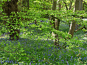 Greater stitchwort (Stellaria holostea)  and Bluebell (Hyacinthoides non-scripta), flowers, with Beech Tree (Fagus sylvatica) East Blean Woodlands, Kent, UK