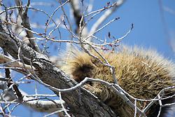 Porcupine in tree, Grand Teton National Park