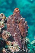 day octopus, big blue octopus, Cyane's octopus, or he'e mauli, Octopus cyanea, with skin flaps raised for camouflage, near Skull Cave, Kohanaiki, Kaloko Honokohau, Kona, Hawaii Island ( the Big Island ), Hawaiian Islands, U.S.A. ( Central Pacific Ocean )
