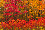 Acadian forest in autumn foliage. <br />Woodstock<br />New Brunswick<br />Canada